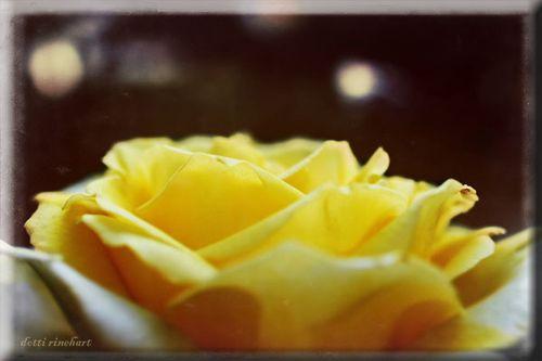 Rose-copy