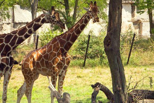 Giraffe-copy