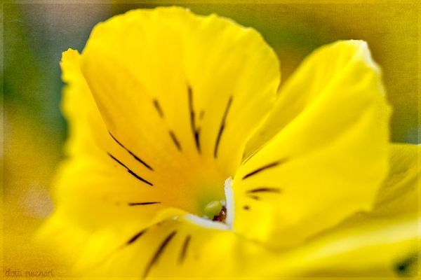 Yellowpansy