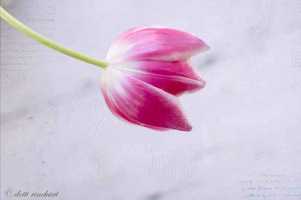 Tuliponwhite