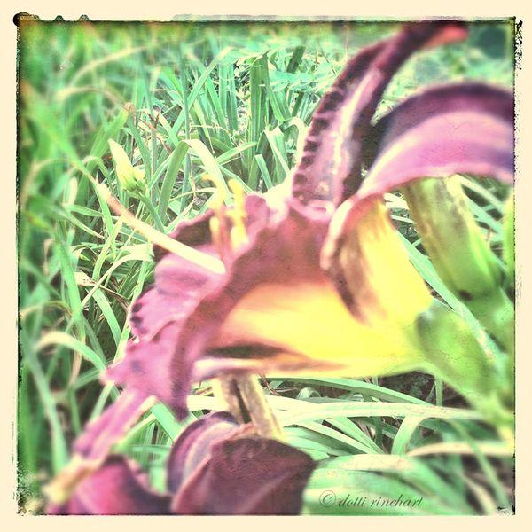 Purpledaylily-Editweb