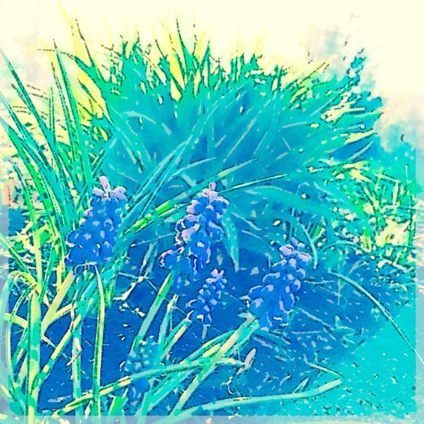 Hyacinthforblog