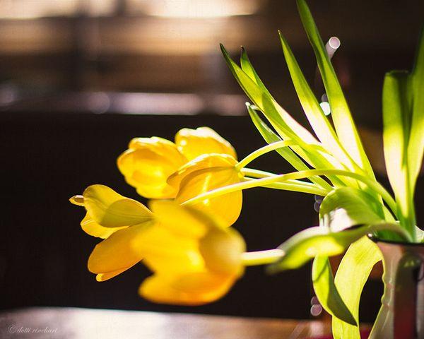 Tulips-web