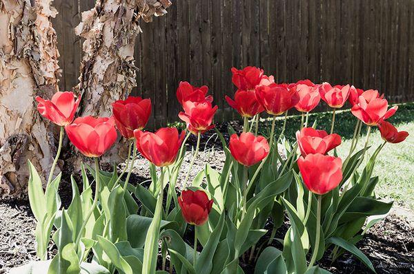 Tuliprow-web