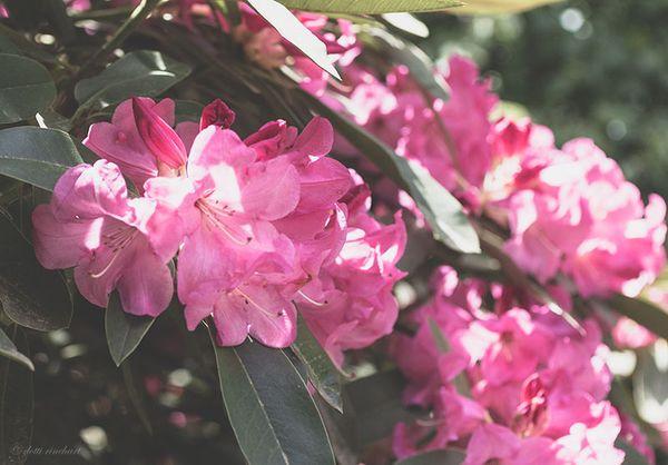 Pink.azalea.web
